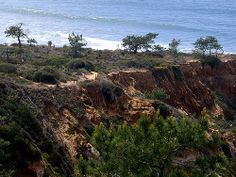 All About San Diego's Iconic Tree: The Torrey Pine