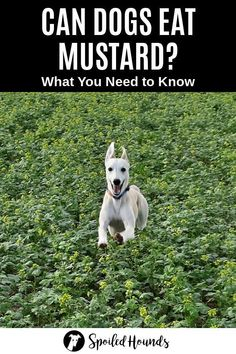 Can dogs eat mustard? Keep your dog safe and find out what you need to know about dogs eating prepared mustard, mustard seeds, mustard greens, and wild mustard. #dogsafety #doghealth #dogs #doglovers #doginformation #dogownertips #pethealth #mustard Dog Information, Mustard Greens, Dog Safety, Can Dogs Eat, Dog Eating, Pet Health, Dog Owners, Need To Know, Dog Food Recipes