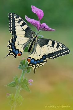 Ms.Swallowtail On the Muscatel Sage by Leonid Fedyantsev on 500px