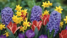 Daffodils, Tulips, Crocus, Hyacinth Flowers. First sign of spring is when they start to blossom.