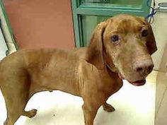 NO NAME PUP~ Vizsla, Lg Adult Male Neutered Rancho Cucamonga Animal Care & Adoption Center   11780 Arrow Route, Rancho Cucamonga, CA 91730 Phone: 909-466-PETS (7387) Email: rcpets@cityofrc.com & use PET ID A661038 to learn more about him. OPEN M-F 1-7 S-S 12-6   It makes me so sad they didn't even give him a name.  But if you adopt this sweet man, you can decide his name. If you're looking for a wonderful companion, ADOPT HIM INTO YOUR FUREVER HOME. PLEASE SAVE HIS LIFE!