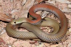 Yellow-faced-Whip-Snake-011.jpg (800×533)