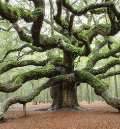 This is the Angel Oak tree on Johns Island near Charleston, SC, USA. I have been there many times and it's amazing! :)