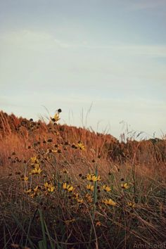 Black-Eyed Susans, Rudbeckia hirta, MD Native Flower Plant