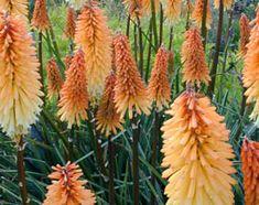 Kniphofia 'Tawny King' - Plants - gardenersworld.com