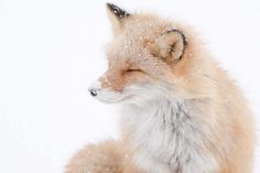 Interview: Exploring the Wonderful World of Wild Foxes in Japan with Hiroki Inoue - My Modern Met