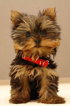 This animal is a yorkie dog