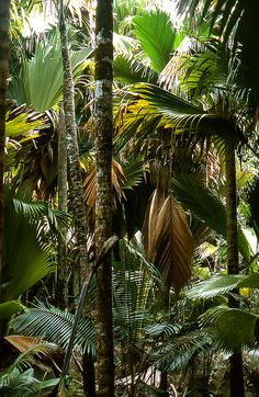 palm forest, Pralin, Seychelles