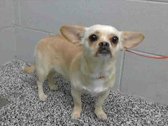 RESCUE ONLY - PREGNANT! #A463847 Available to rescue on 4/22  I am a female, tan Pekingese mix. I have been at the shelter since Apr 15, 2014.   If I am not claimed, after my stray holding period, I may be available for RESCUE on Apr 22, 2014. ...    City of San Bernardino Animal Control-Shelter. https://www.facebook.com/photo.php?fbid=10202465328772083&set=a.10201187177339096.1073741865.1160364024&type=3&theater
