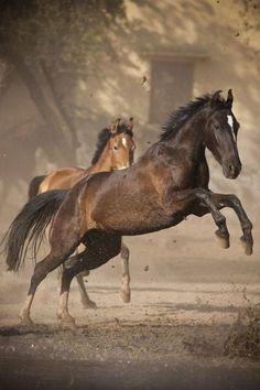 Dark bay and light bay Marwari horses Cute Horses, Horse Love, Most Beautiful Animals, Beautiful Horses, Trees Beautiful, Horse Photos, Horse Pictures, Zebras, Marwari Horses