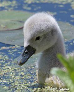 Adorable! - Baby Swan (Cygnet)