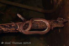 Xenopeltis unicolor (Sunbeam snake)