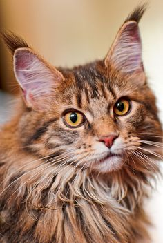 Maine coons have got to be one of my favorite types of cats. Just look at that face and those ears. Seriously !!