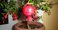 În ultima vreme este foarte populară creşterea plantelor exotice acasă, deoarece ele au un aspect decorativ plăcut, iar îngrijirea lor este de fapt destul de simplă. Dacă aţi decis să creşteţi acasă vreo plantă neobişnuită, probabil