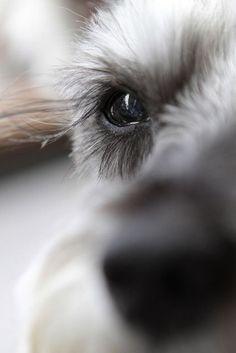 Cute dogs Miniature Schnauzer Cute Pets