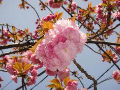 「花金、陽射しを浴びるサトザクラ」 柿の木坂遊歩道 2013/04/05