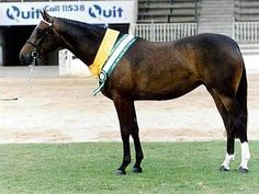 Horse Breeds Anglo-Arab