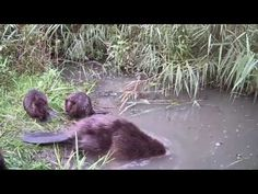 Follow the Beaver - 25 years Beavers in the Biesbosch -- Volg de bever 2013 - 25 jaar bevers in Biesbosch - YouTube