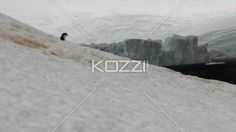 penguin going downhill. - Video of a penguin waddling downhill.