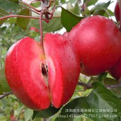 Apple red apple fruit love red meat, potted fruit trees can be planted fruit trees 50 Seeds/Pack -  http://mixre.com/apple-red-apple-fruit-love-red-meat-potted-fruit-trees-can-be-planted-fruit-trees-50-seedspack/  #Bonsai