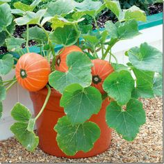 Home >> Blog >> The patio allotment: Growing vegetables in planters.