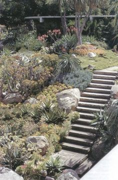 The succulent garden designed by Ralph T Stevens for the Tremaine house designed by Richard Neutra. Neutra's use of cut native sandstone steps and native boulders linked the garden to the Santa Barbara region and to the house, where sandstone was also featured. Photographs by Russell Beatty