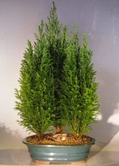 Bonsai Boys Italian Cypress Evergreen Bonsai Tree Three Tree Forest Group  Large cupressus sempervirens -- You can get more details by clicking on the image.
