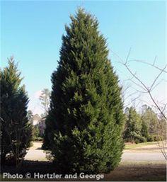 Going to line the ga property with these! Leyland Cypress - X Cupressocyparis leylandii