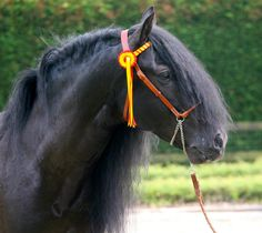 Lustroso Andalusians Sport Horses - http://www.andalusian-horses.eu
