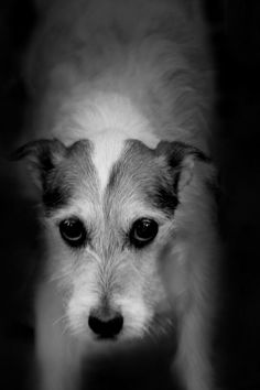 Katherine Carver Photography - Jack Russell Terrier, dog, Annapolis, Maryland, photography, Katherine Carver Photography, Baltimore, Maryland Dog Photographer