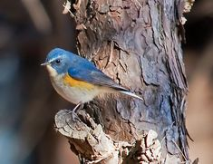 Red-Flanked Bluetail --The red-flanked bluetail, also known as the orange-flanked bush-robin, is a small passerine bird that was formerly classed as a member of the thrush family Turdidae, but is now more generally considered to be an Old World flycatcher, Muscicapidae.