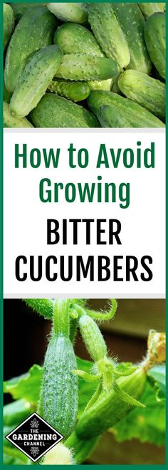 Learn how to grow great tasting cucumbers that are not bitter with these gardening tips.