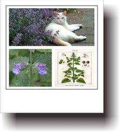 Plante medicinale – IARBA-MÂȚEI