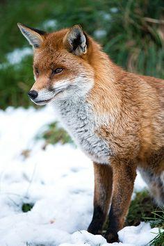 Snow Fox by Dave Hunt via British Wildlife Centre 13/03/13 | Flickr - Photo Sharing!