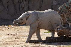 Nandi - Reid Park Zoo