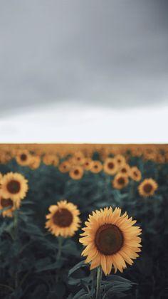 2048x1240 free desktop wallpaper downloads sunflower ...
