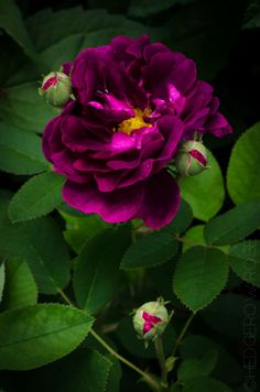 'Tuscany Superb' Velvet Rose oh, how i'd love to add this to my garden!