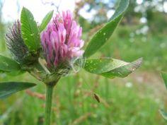 Ved grønngjødsling dyrkes det planter for å forbedre jordas naturl...