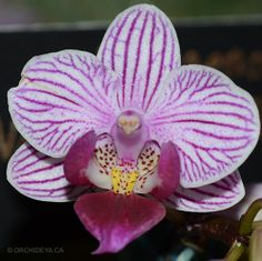 Phalaenopsis Nobby's 'Little Candy'