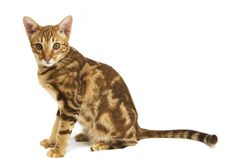 The Ocicat Cat is an all-domestic breed of cat which resembles a wild cat but has no wild DNA in its gene pool. The breed is unusual in that it is spotted like a wild cat but has the temperament of a domestic animal.  #Ocicat #Cat #Breed #OcicatCat #OcicatKittens