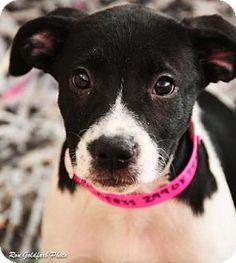 Alpharetta, GA - Bulldog Mix. Meet Princess, a puppy for adoption. http://www.adoptapet.com/pet/14069539-alpharetta-georgia-bulldog-mix