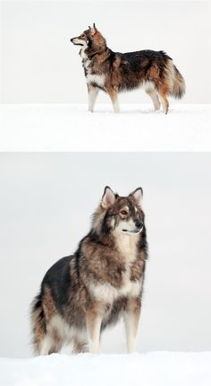 The Utonagan is a breed of dog that resembles a wolf, but in fact is a mix of three breeds of domestic dog: Alaskan Malamute, German Shepherd, and Siberian Husky. I want this dog it looks like a wolf and I love wolves they remind me of Koga Big Dogs, I Love Dogs, Cute Dogs, Dogs And Puppies, Doggies, Beautiful Dogs, Animals Beautiful, Beautiful Pictures, Utonagan Dog