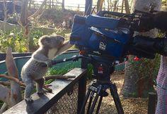 Un koala réalisateur de film
