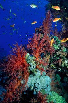Anthias on a reef