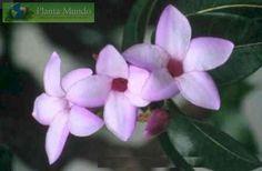 Rubber Vine - Purple Allamanda - Criptostegia grandiflora (trepadeira)