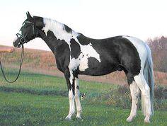 Sempatico M OLD - Black pinto warmblood sporthorse stallion