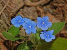 https://flic.kr/p/dDLJhF | Boraginaceae - Omphalodes verna | Boraginaceae - Omphalodes verna