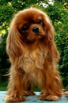 Cavalier King Charles Spaniel More Cavalier King Charles Spaniel & Source by The post Cavalier King Charles Spaniel & appeared first on Welch Puppies. Cute Puppies, Cute Dogs, Dogs And Puppies, Lazy Dog Breeds, Puppy Breeds, Roi Charles, Cavalier King Charles Spaniel, King Charles Puppy, Spaniel Puppies