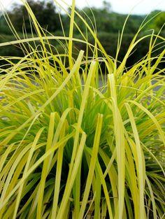 Carex oshimensis 'Everillo' PP 21,002 (Everillo Golden Perennial Sedge)