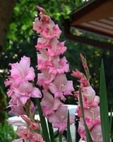 Gladiolus garden plants grow wonderfully in the warm weather of summer. For best results when planting gladiolus garden plants, gardeners should choose plants carefully. Small Flower Gardens, Small Flowers, Colorful Flowers, Beautiful Flowers, Gladioli, August Birth Flower, September Flowers, Gladiolus Flower, Flower Meanings